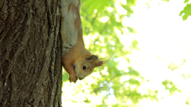 かわいいリス食事、ナットクライミングツリー - よじ登る点の映像素材/bロール
