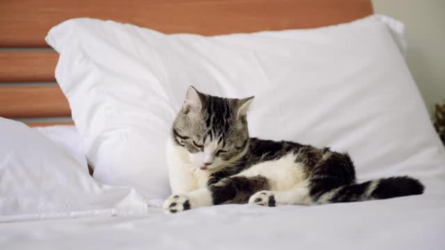 vidéos et rushes de chat mignon de tabby s'asseyant sur le lit blanc avec son jouet et se nettoyant. - animaux de compagnie