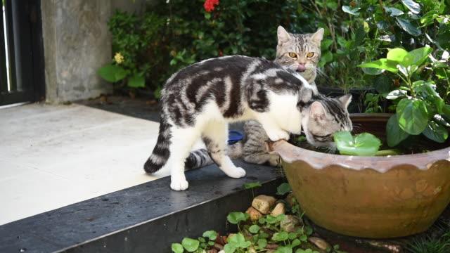 vídeos y material grabado en eventos de stock de lindo tabby gatos bebiendo agua en estanque de loto tazón jardín verde. - posa del loto