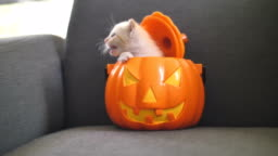 4K Cute tabby kitten hiding inside orange pumpkin bucket, Happy Halloween