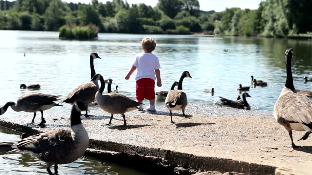 cute toddler feeding ducks and canadian geese comp - canada goose stock videos & royalty-free footage