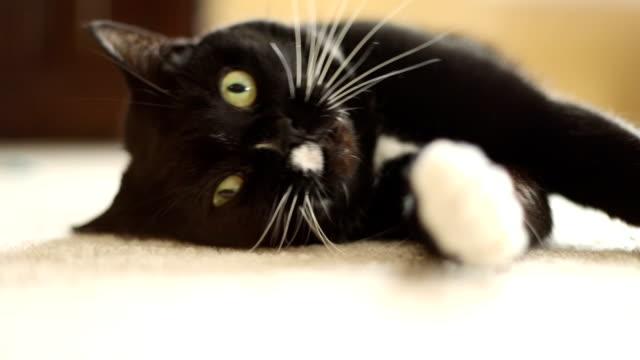 Niedliche Tuxedo Cat Playing