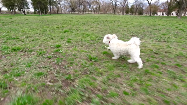 Cute white and black poodle running in the park