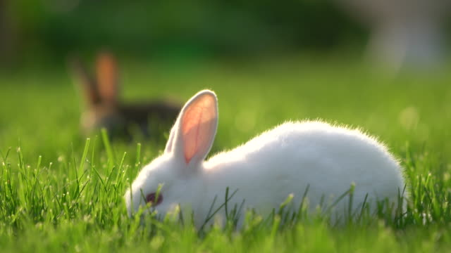 cute white and gray cottontail bunny rabbit munching grass in the garden - cottontail stock videos & royalty-free footage