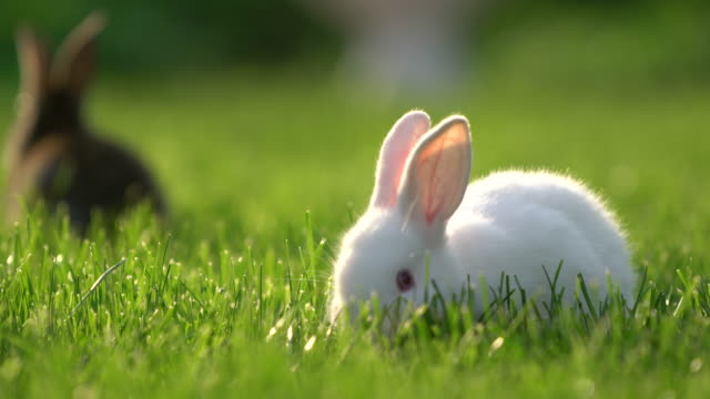 Cute white and gray Cottontail bunny rabbit munching grass in the garden