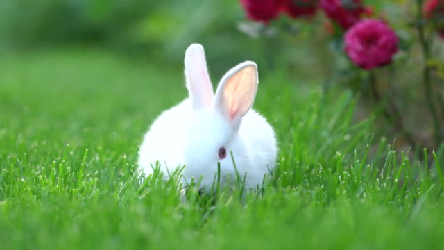 cute white cottontail bunny rabbit munching grass in the garden - cottontail stock videos & royalty-free footage