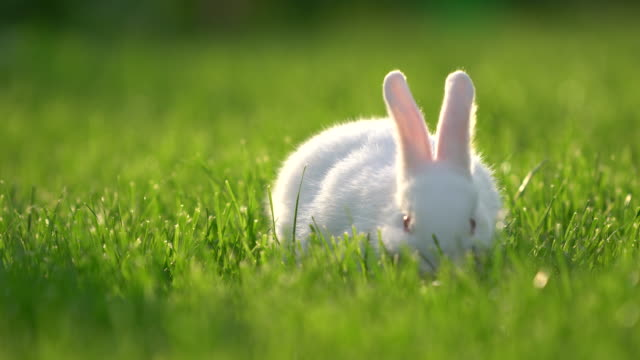 cute white cottontail bunny rabbit munching grass in the garden - easter stock videos & royalty-free footage