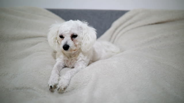 cute white dog lying on the bed - bichon frise stock videos and b-roll footage