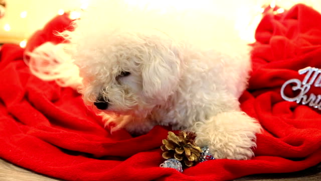 cute white dog plays on christmas blanket - blanket texture stock videos and b-roll footage