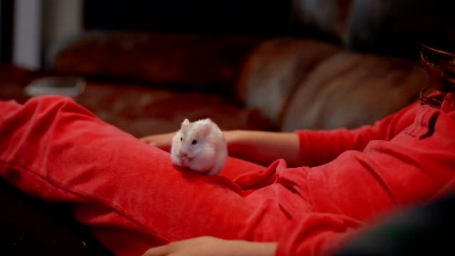 A cute white hamster eats on a child's legs at home