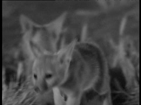 cute young kit foxes explore at night, bakersfield - babyhood stock videos & royalty-free footage