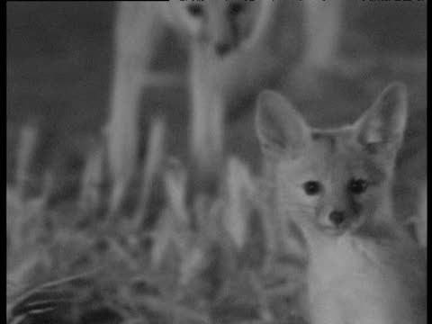 cute young kit foxes play at night, bakersfield - babyhood stock videos & royalty-free footage