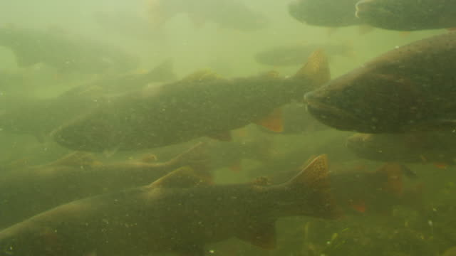Cutthroat trout swimming on sunlit river bed