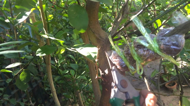 cutting a scion of tree in garden - pruning stock videos & royalty-free footage