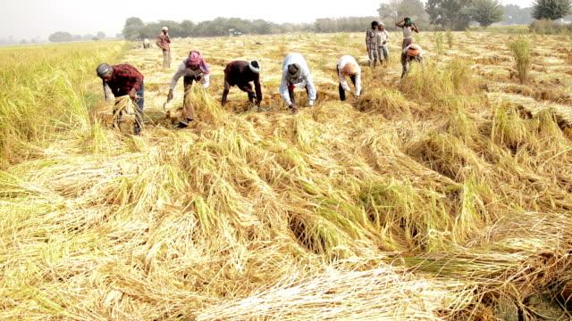 cutting crop using sickle - farmer stock videos & royalty-free footage