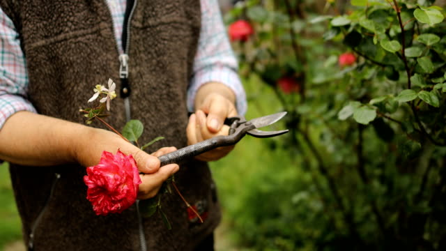 cutting fresh roses in the garden - pruning stock videos & royalty-free footage