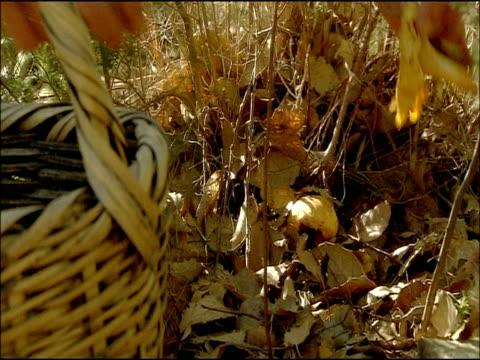 vidéos et rushes de cutting mushrooms from stalk, autumn, jimena de la frontera, cadiz, andalusia, southern spain - cueillir