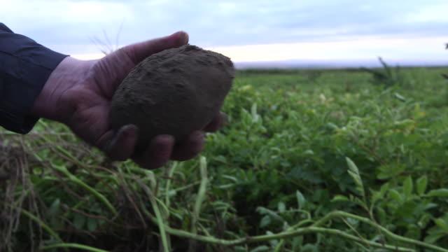 cutting potato in field cu - wiese video stock e b–roll
