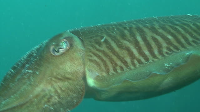 cuttle fish. channel islands, british waters - cuttlefish stock videos and b-roll footage
