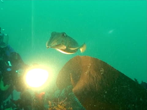 cuttlefish and diver head to head touches tentacles to fingers,  ws to ms - tauchgerät stock-videos und b-roll-filmmaterial