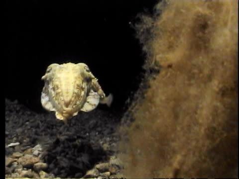 cuttlefish approaches and attacks camera using its tentacles - cuttlefish stock videos & royalty-free footage