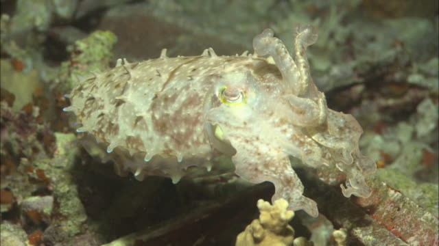cuttlefish at night, palau, south pacific  - cuttlefish stock videos & royalty-free footage