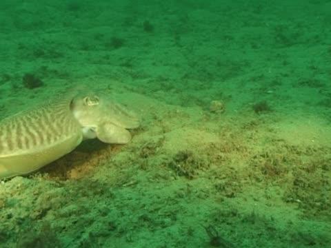 vídeos de stock e filmes b-roll de ms cuttlefish catches hermit crab. channel island, uk - ilhas do canal da mancha