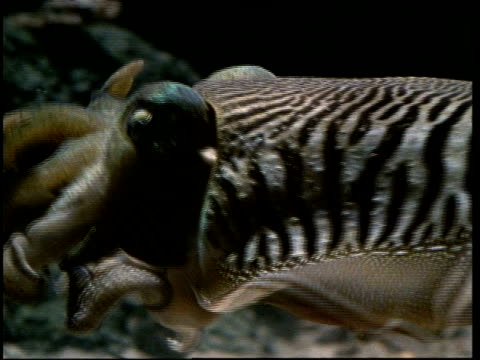 cuttlefish catching crab - cuttlefish stock videos and b-roll footage