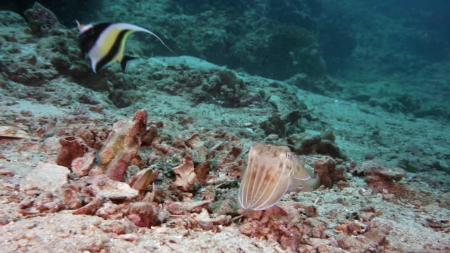 cuttlefish displaying defensive colour change behaviour when threatened - sepia stock videos & royalty-free footage
