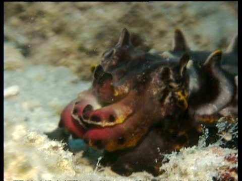 cu cuttlefish feeding and displaying colour, malaysia, mabul, borneo, malaysia - cuttlefish stock videos and b-roll footage