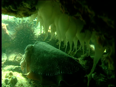 cuttlefish guards her eggs in crevice, shark bay, western australia - crevice stock videos & royalty-free footage