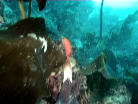 Cuttlefish has fish in tentacles head on, WS to BCU. English waters, United Kingdom