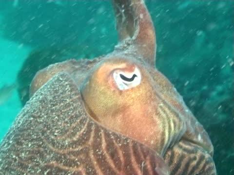 vídeos y material grabado en eventos de stock de cuttlefish head on sandy bottom, bcu - menos de diez segundos