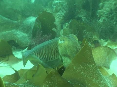 cuttlefish hiding among kelp fronds by adapting colour, - 色が変わる点の映像素材/bロール