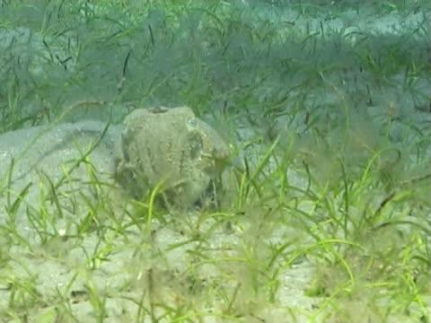 vídeos de stock e filmes b-roll de cuttlefish hiding in sand and seagrass - sargaço