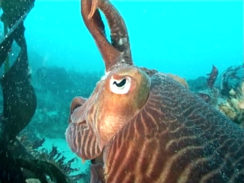 cuttlefish hunting tentacles raised,  ws to bcu - cuttlefish stock videos and b-roll footage
