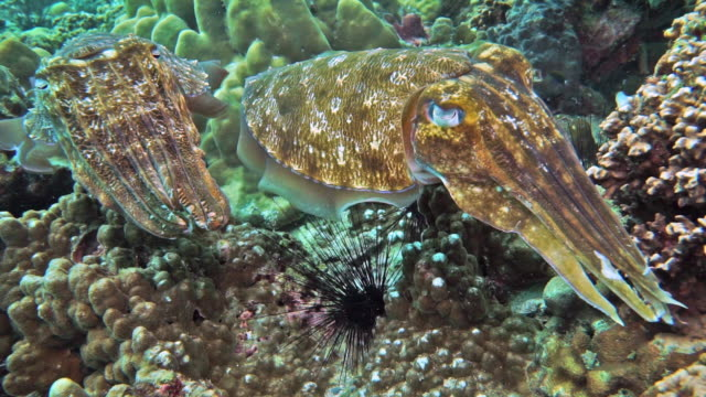 cuttlefish (sepia pharaonis) laying eggs and physiological color change - cuttlefish stock videos & royalty-free footage