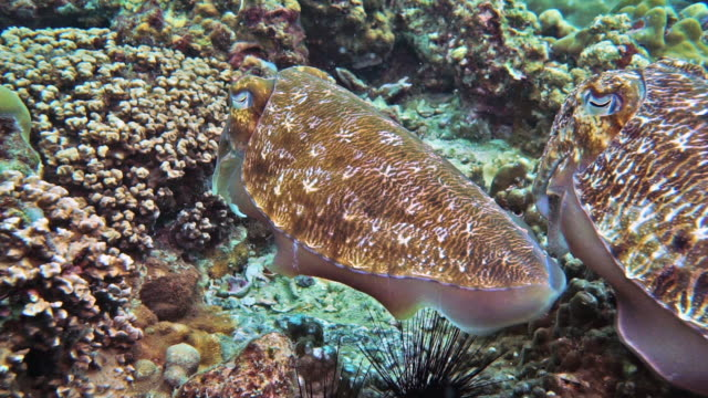 cuttlefish (sepia pharaonis) laying eggs - camouflage stock videos & royalty-free footage
