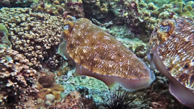 vídeos de stock e filmes b-roll de cuttlefish (sepia pharaonis) laying eggs - camuflagem padrão