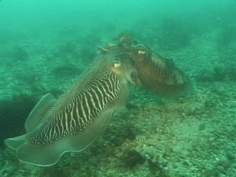 ws cuttlefish mating. channel island, uk - cuttlefish stock videos & royalty-free footage