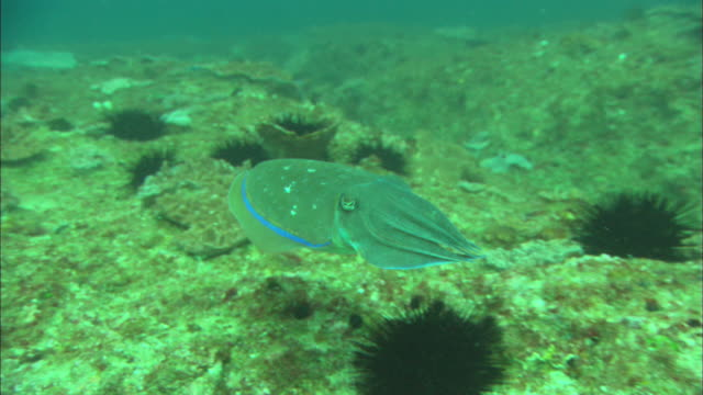 Cuttlefish moving away from camera, changes colour. Mozambique