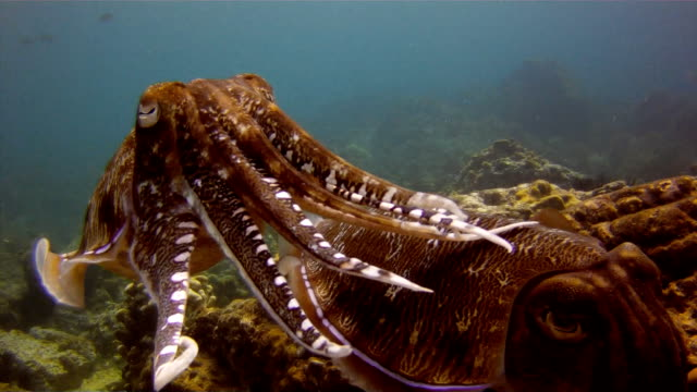cuttlefish (sepia) pair laying eggs. the art of cephalopod camouflage. location is the andaman sea, krabi, thailand. this is a classic display of primal instinctive animal behavior, which ensures their survival. - cuttlefish stock videos & royalty-free footage