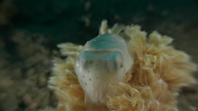 cuttlefish show warning face undersea on soft coral, indonesia (4k) - nudibranch stock videos & royalty-free footage