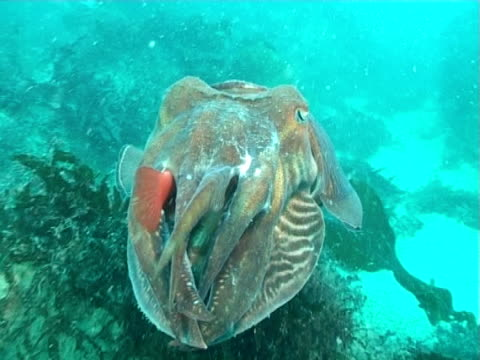 Cuttlefish swimming side shot to high angle including reef