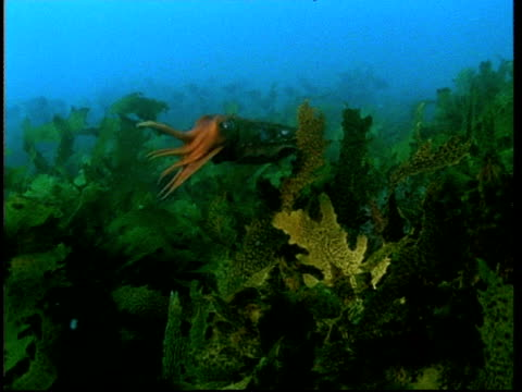 cuttlefish swimming through seaweed - cuttlefish stock videos & royalty-free footage