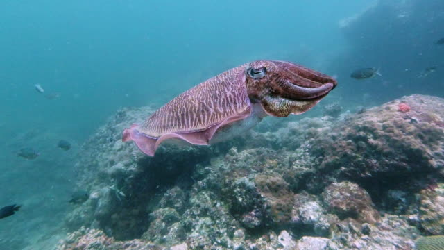 cuttlefish (sepia pharaonis) swimming underwater 4k footage - invertebrate stock videos & royalty-free footage