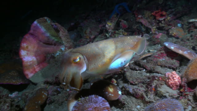 cuttlefish (sepiida) swimming underwater (indonesia) - seafood stock videos & royalty-free footage