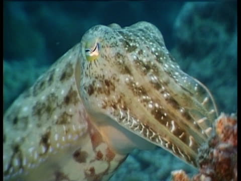 a cuttlefish swims along the sea floor. - 軟体動物点の映像素材/bロール