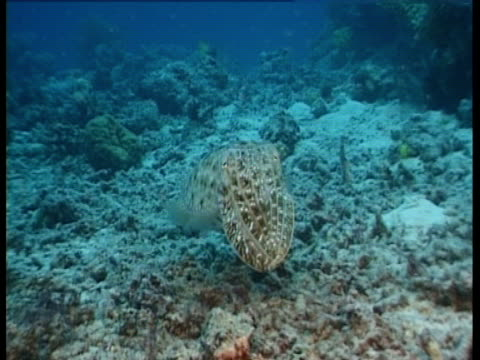 a cuttlefish swims along the sea floor. - cuttlefish stock videos & royalty-free footage