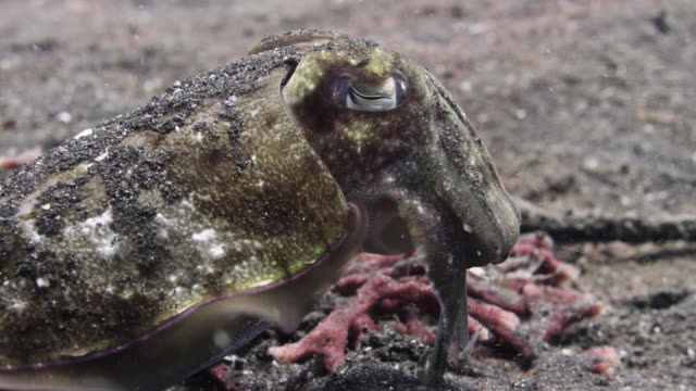 cuttlefish (sepiida) swims away over seabed, sulawesi, indonesia - cuttlefish stock videos & royalty-free footage